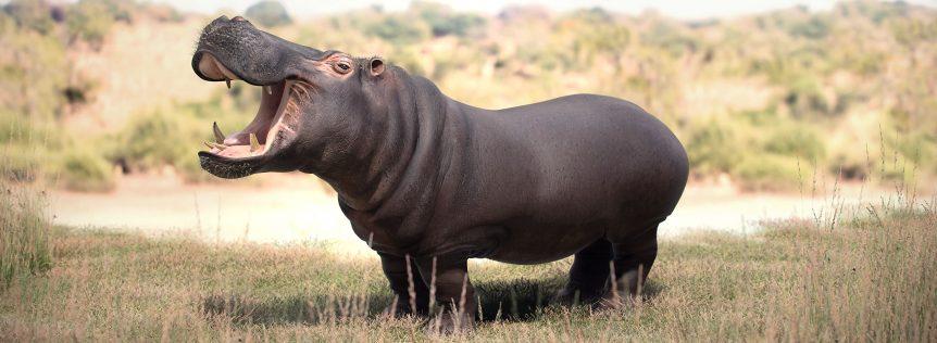 Hippopotamous_Final_Ambient