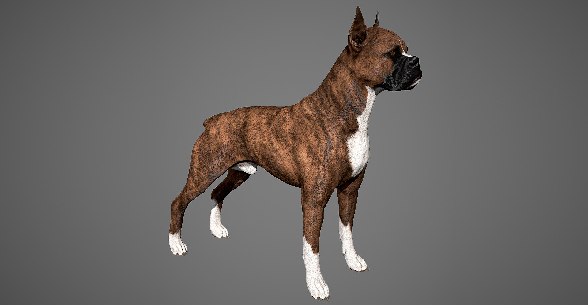 Boxer dog 3D model by lashkoalex