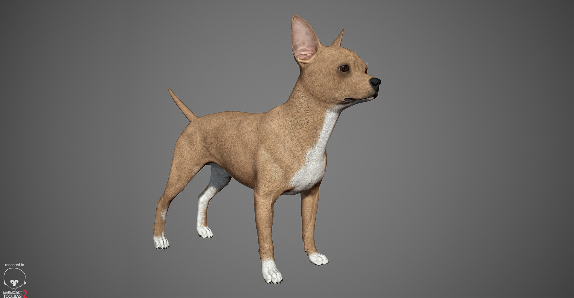 Chihuahua 3D model by lashkoalex
