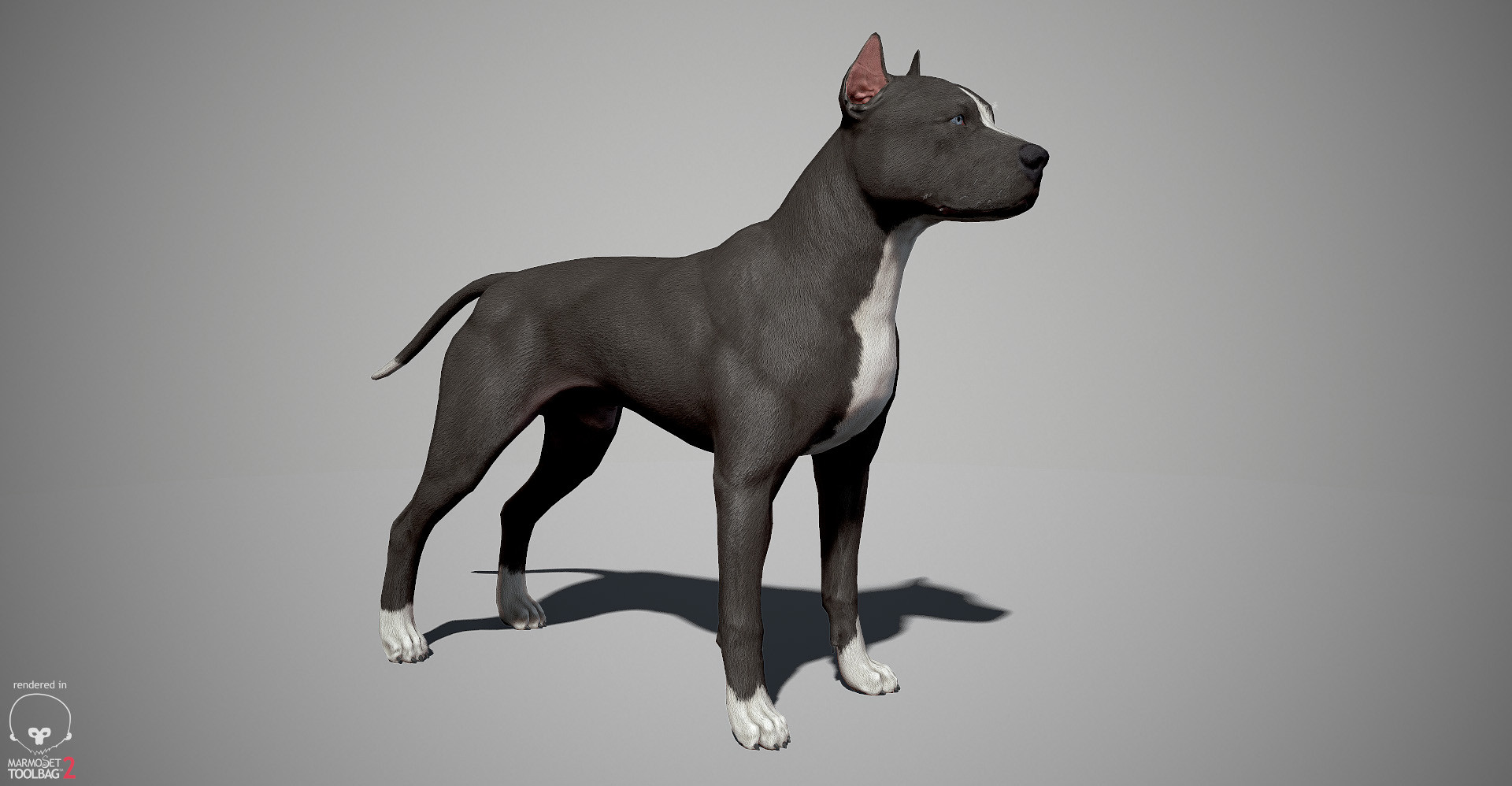 Pitbull 3D model by lashkoalex