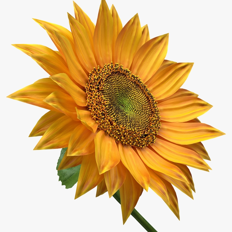 3D Realistic Sunflower model by NiceModels