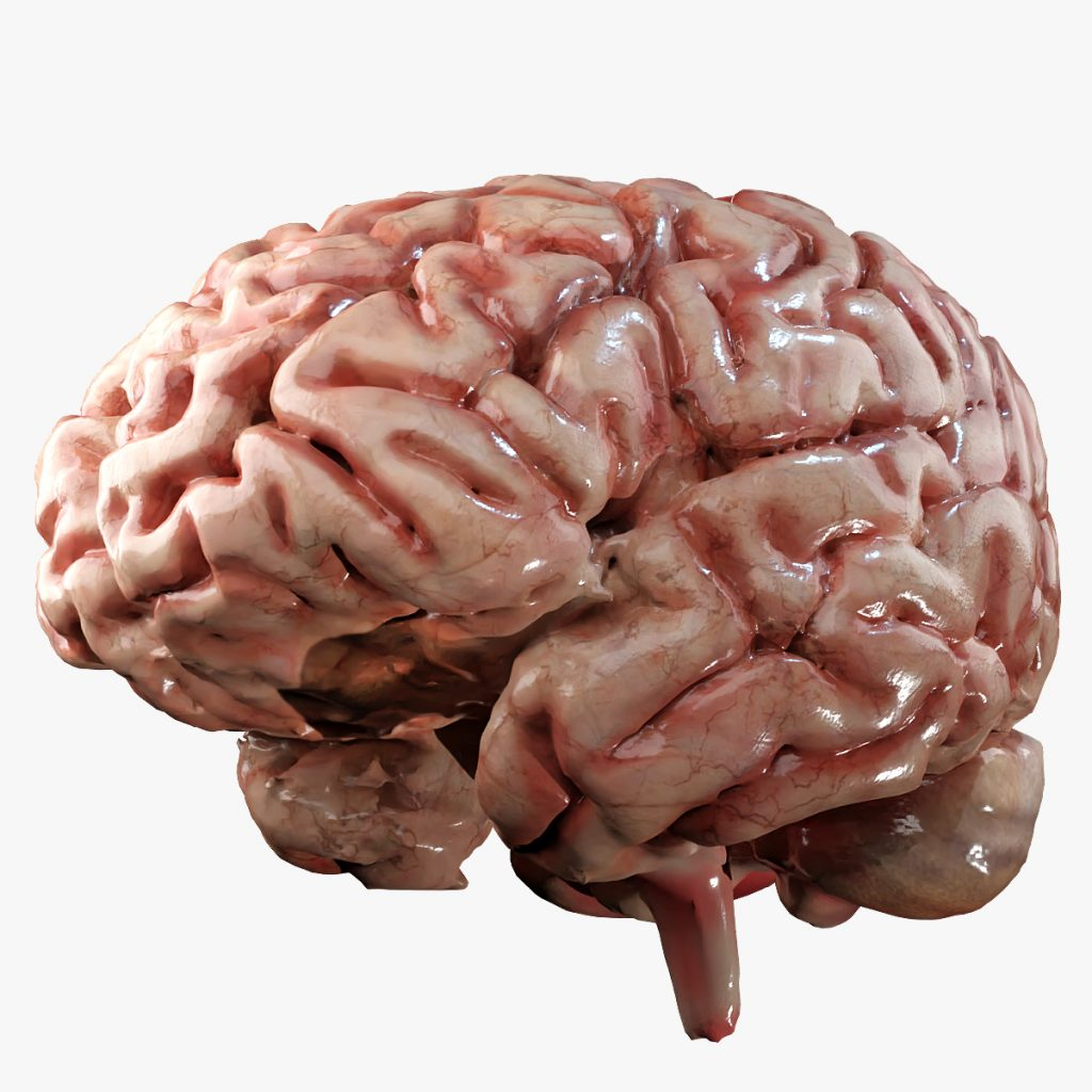 Brain 3D Model by BluebrainFX